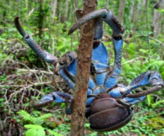 Miracles of Weird: The Coconut Crab