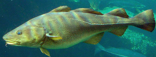 Lateral Line Cod IP