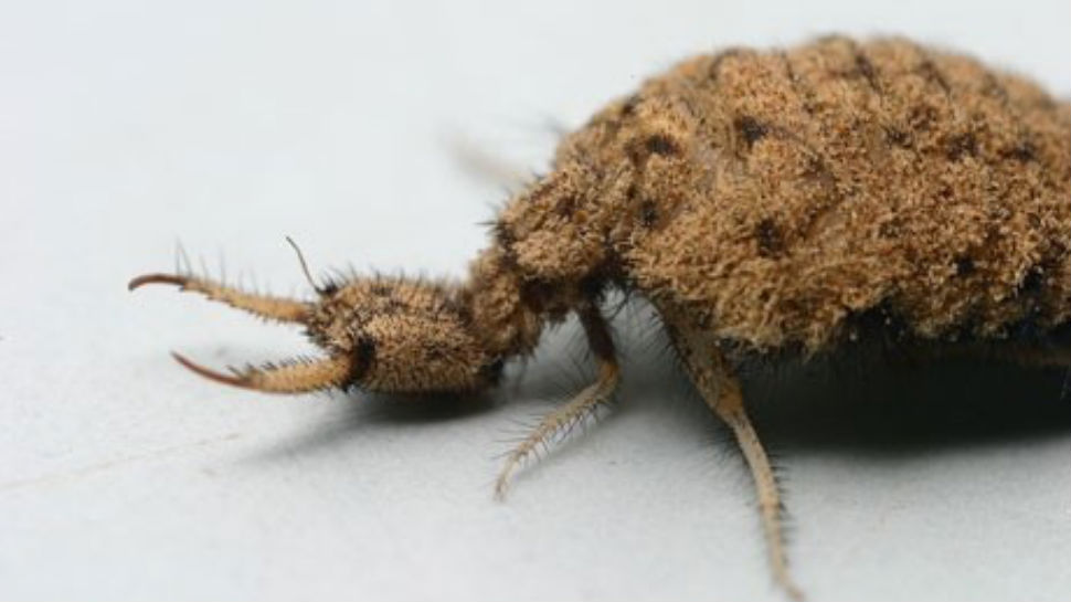 Miracles of Weird: The Antlion