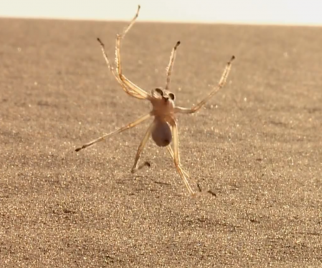 Miracles of Weird: The Flic-Flac Spider