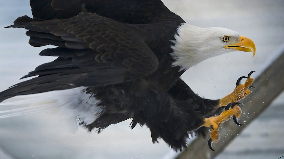 Why the Bald Eagle is the USA's National Bird
