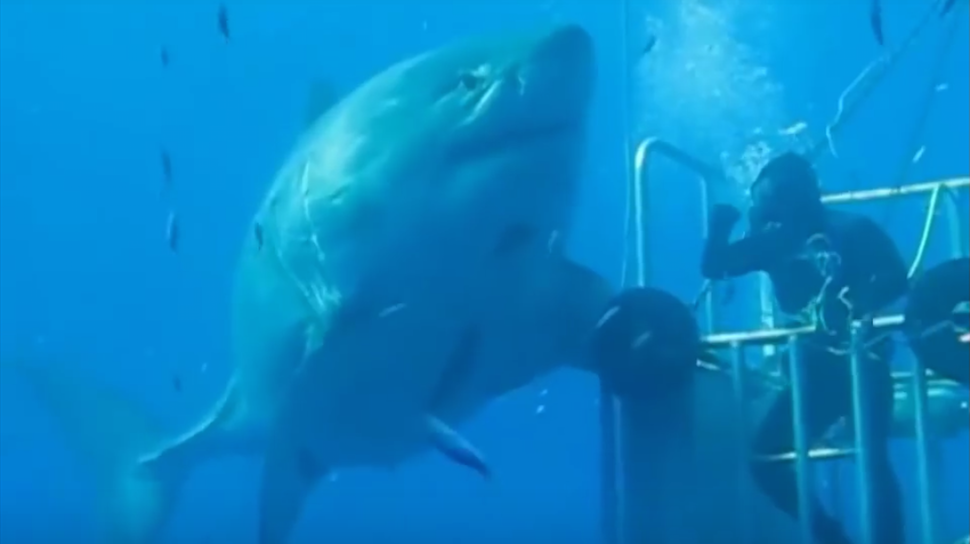 More Video Emerges of Deep Blue, The Largest Great White Shark Ever Recorded
