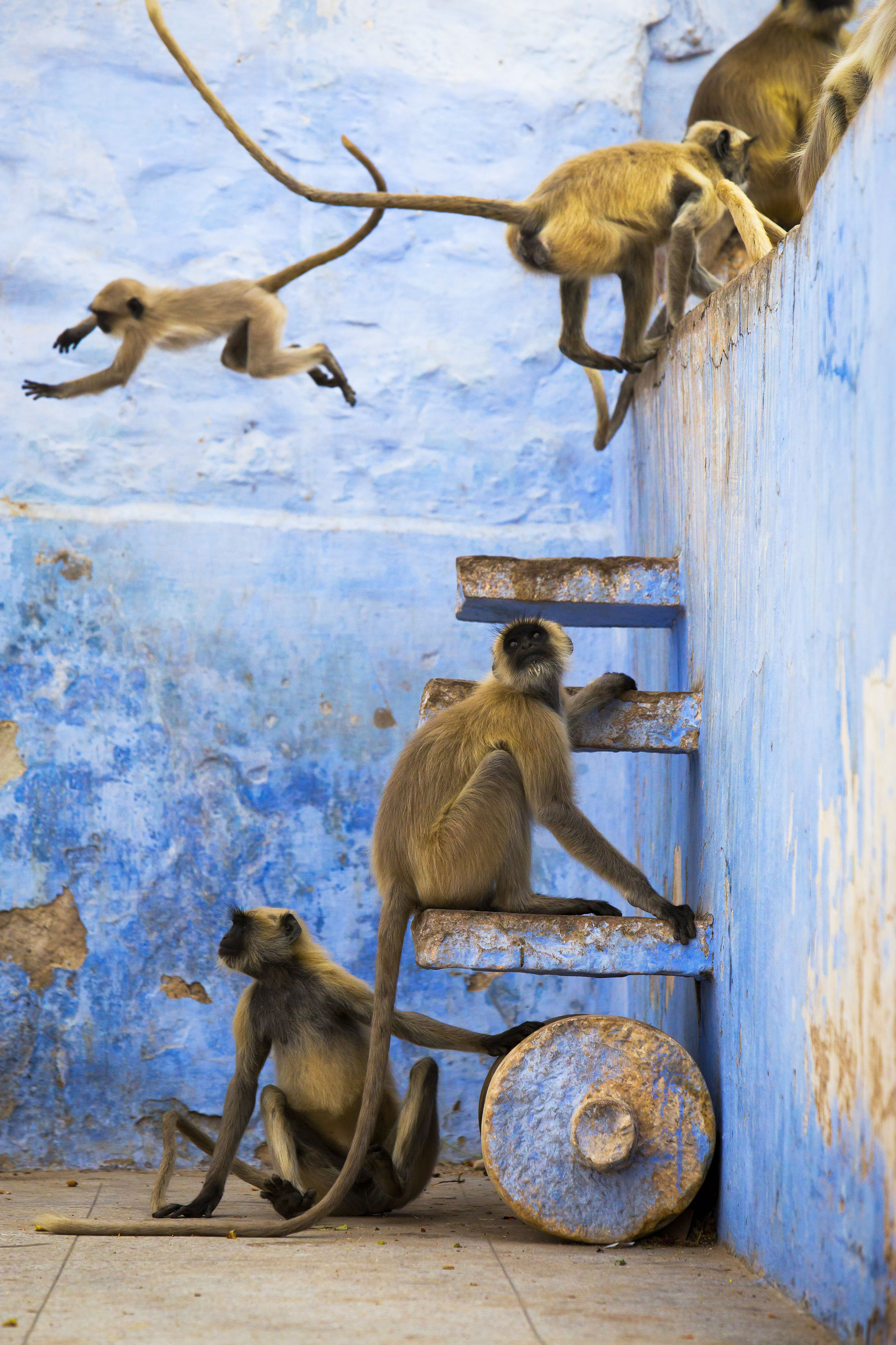 These Hanuman langurs have free roam in the blue city of Jodhpur, India. It is their home and their playground. Treated as religious deities they are fed and well looked after by the cityís inhabitants.