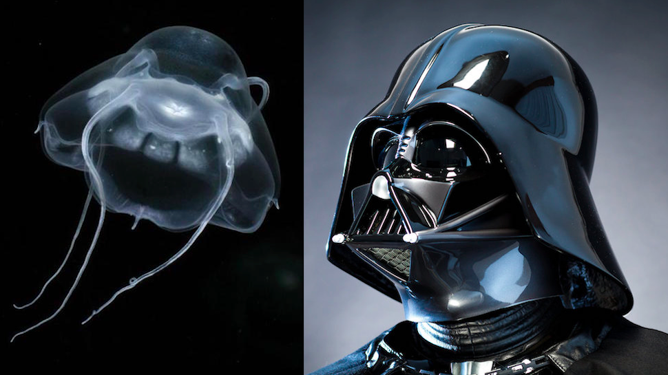 Darth Vader Jelly is the Sith of the Deep Sea