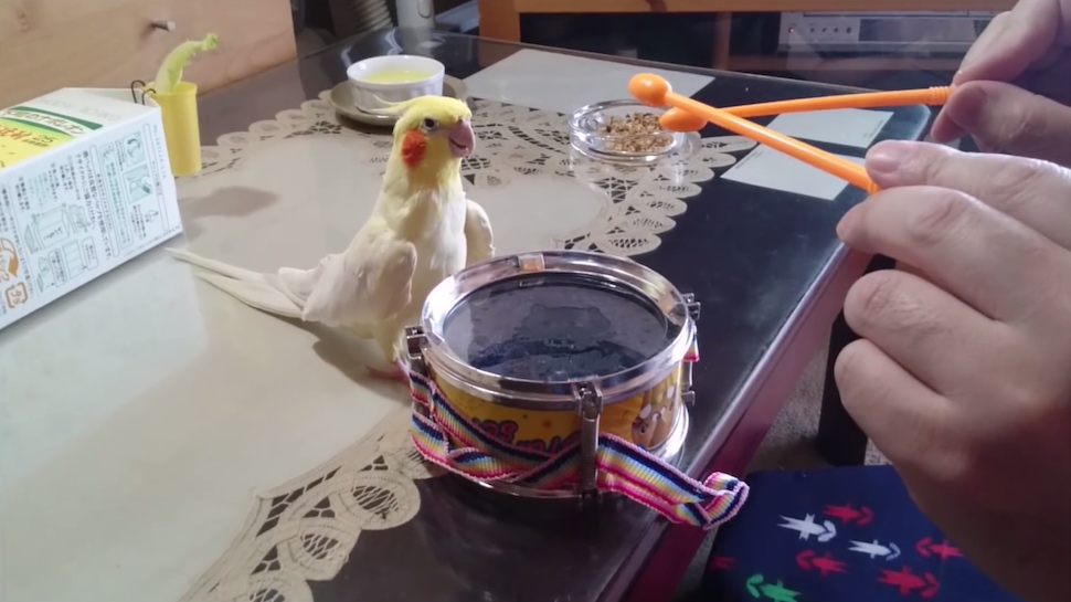 Watching This Bird Realize It Loves Drumming Will Brighten Your Day