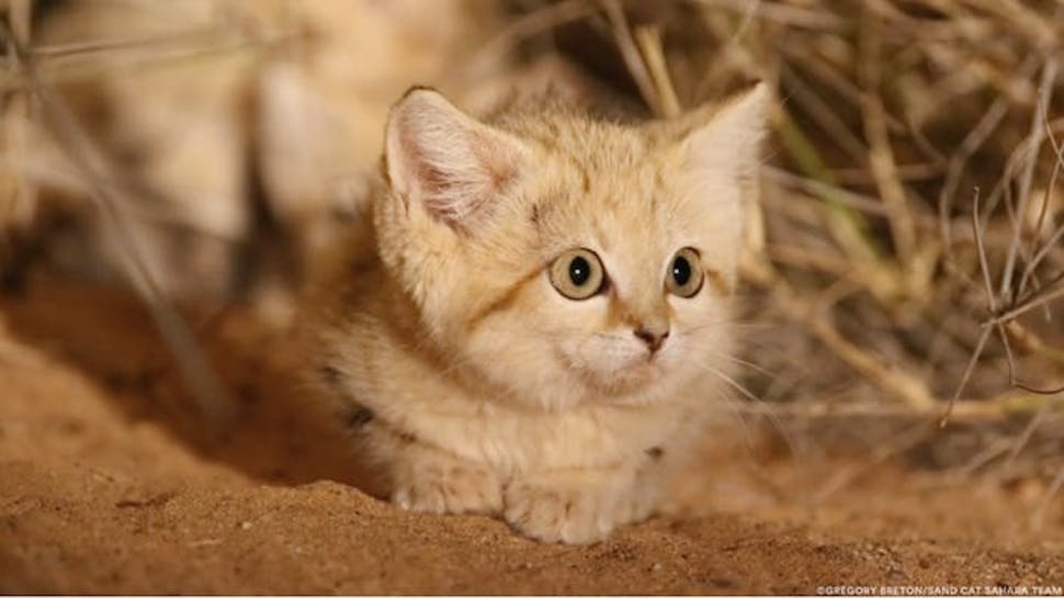 Impossibly Adorable Sand Cat Kittens Caught on Film for the First Time