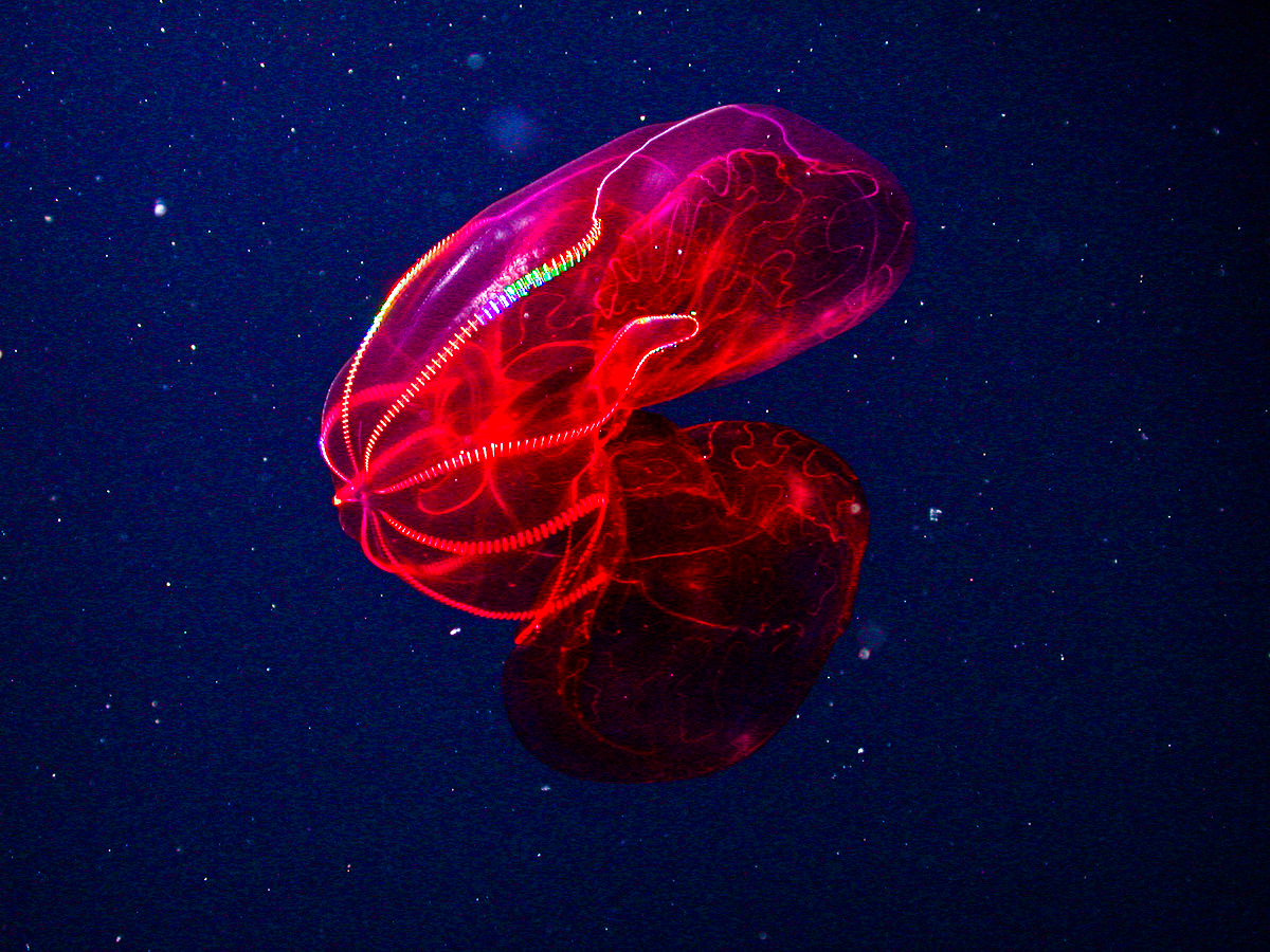 The blood-belly comb jelly is a macabre blob of the deep.