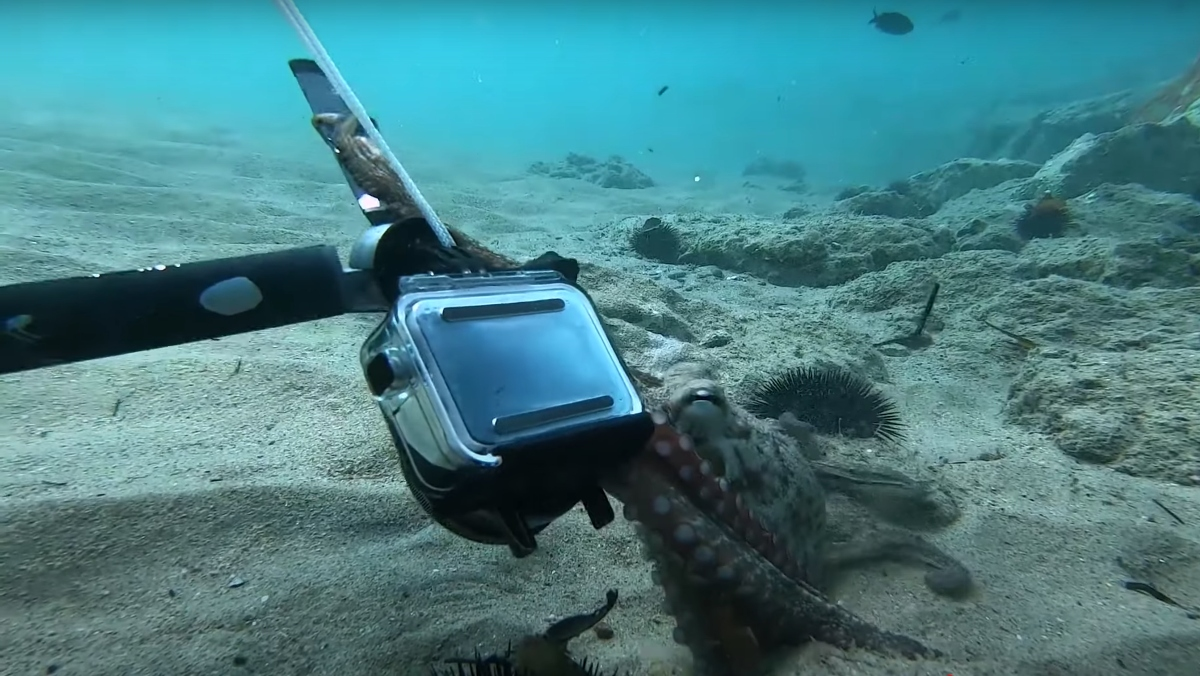 An octopus and a diver recently played tug-of-war over a GoPro off the coast of France.