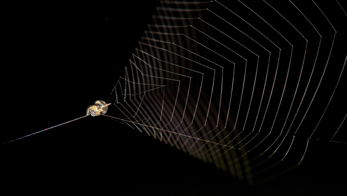 Scientists find that slingshot spiders can accelerate 100 times faster than a cheetah.