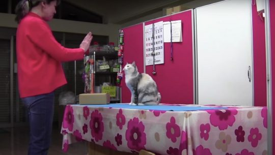 Ebisu, a Japanese cat, mimics her owners movements in a controlled test.