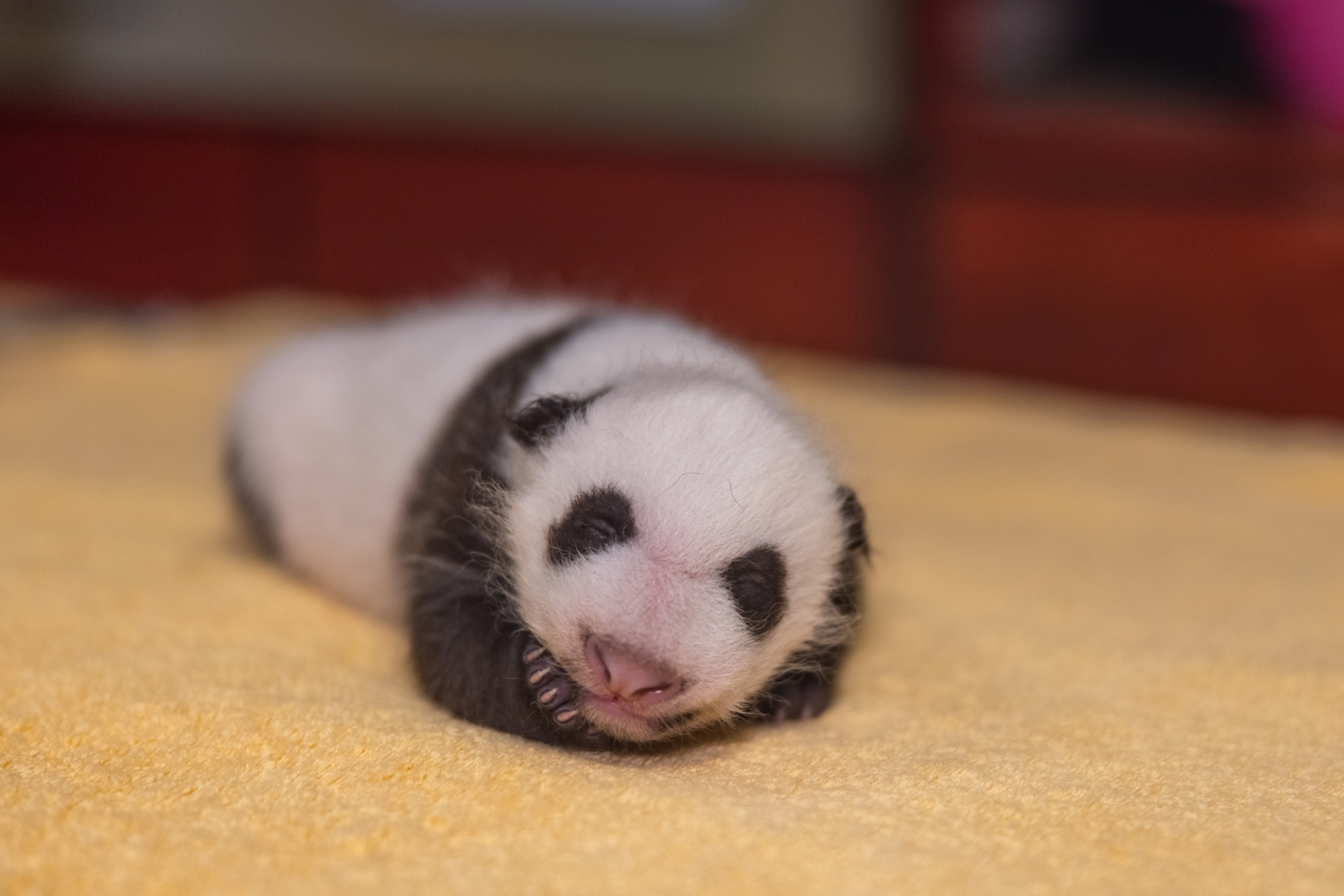 The Smithsonian National Zoo's update on its one-month-old panda cub is maximum adorableness.