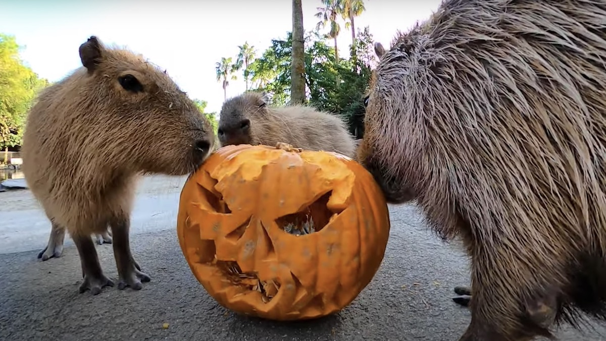 Videos of Animals Eating Pumpkins Are a Halloween Treat_1