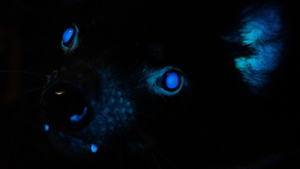 Scientists are finding that many mammals, such as Tasmanian Devils and Platypuses, glow under UV light.