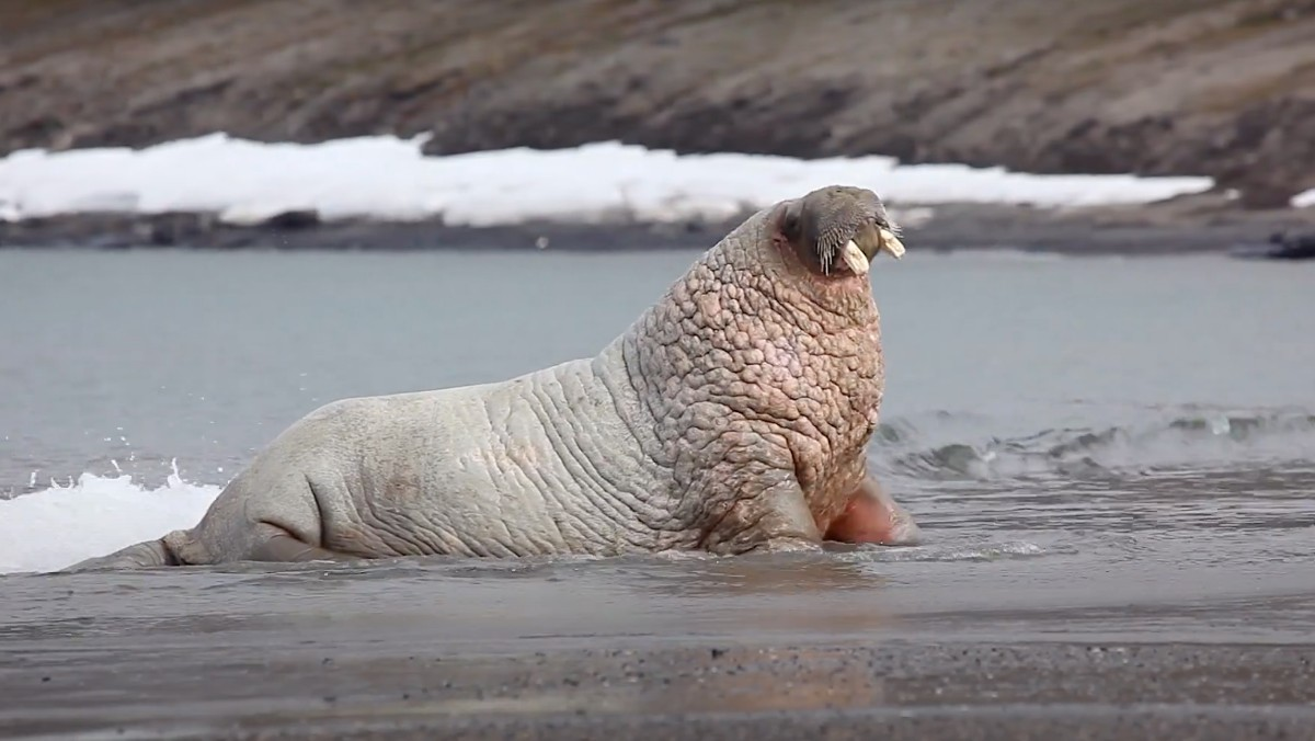A walrus lounges on a watery beach in the Arctic.
