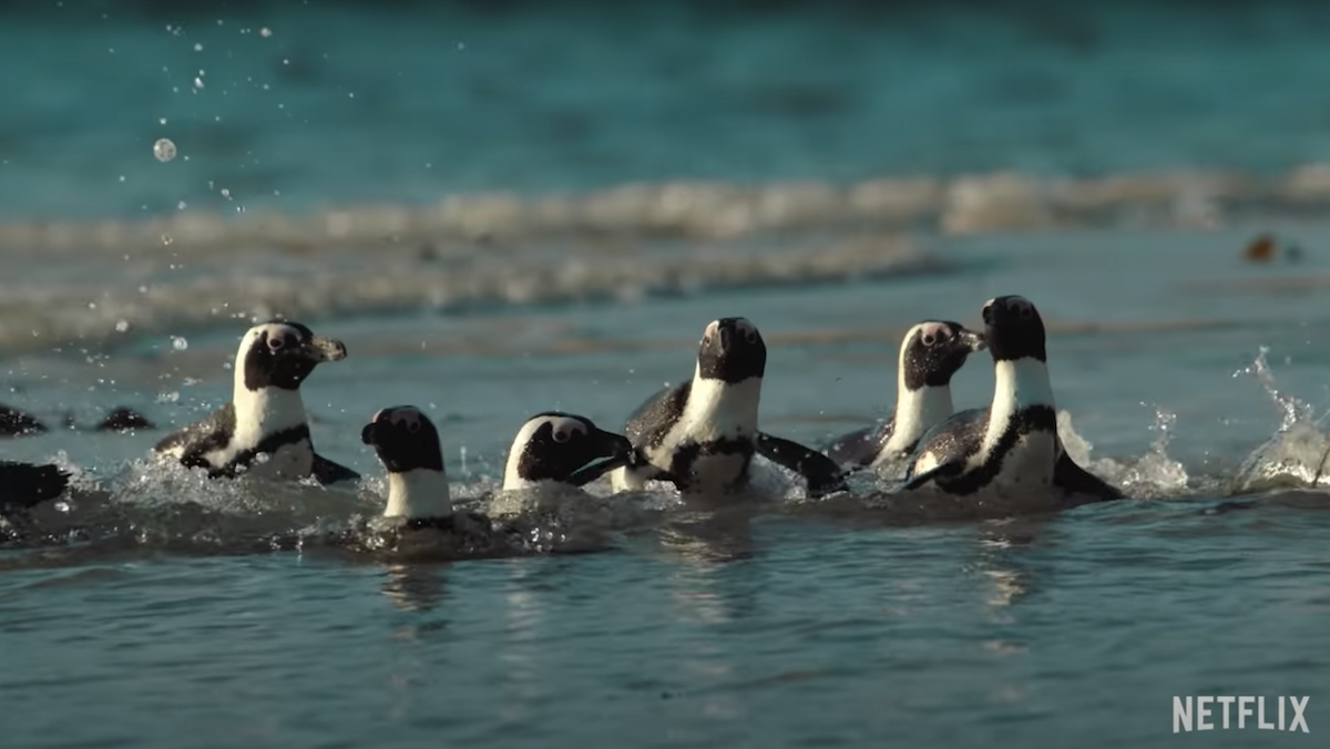 Several penguins peek their heads out of the water.