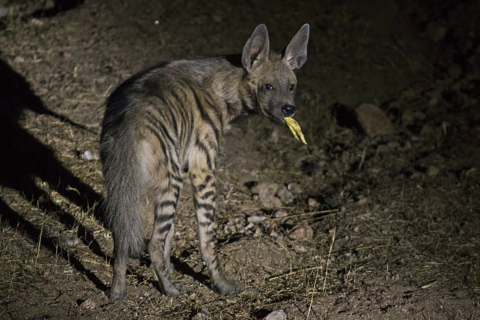 A striped Hyena holding a chicken foot in its mouth as it stares back at a camera flash in the midst of night.