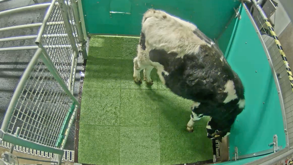 A cow standing in the middle of a large pen, preparing to urinate on a square of astroturf. This cow potty training aims to help the environment.